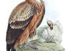 Football – Oies blanches et vautours avides