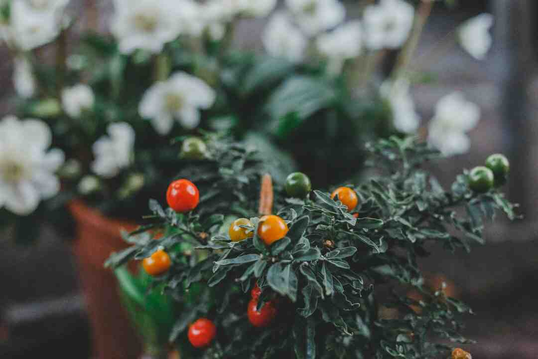 Comment  Faire pousser des tomates dans des pots