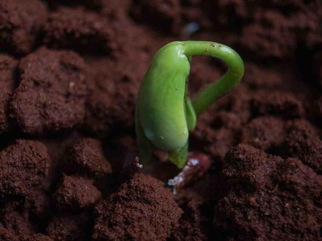 Comment Faut-il arroser les haricots ?