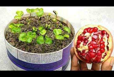Comment  Planter un grenadier