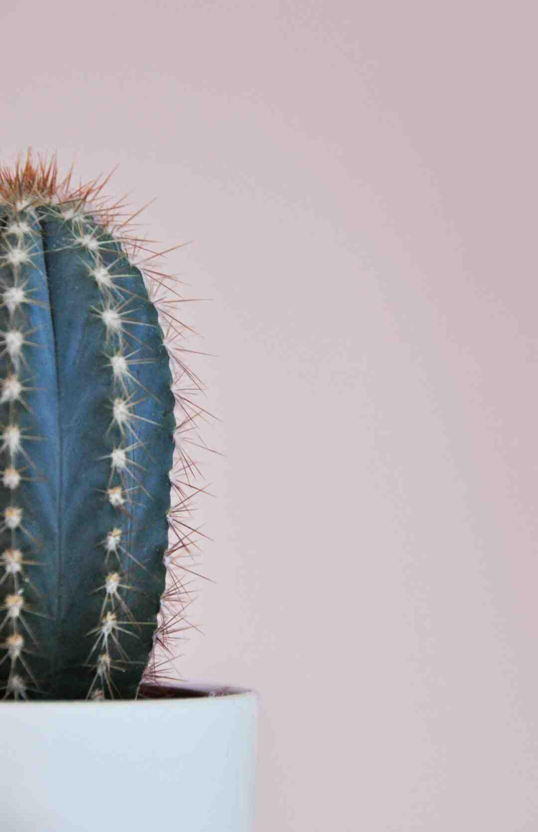 Comment  Rempoter un cactus