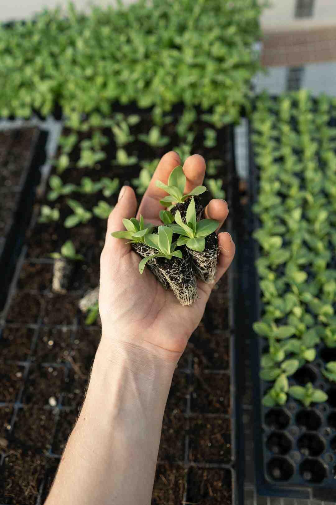 Comment acidifier un sol pour Hortensia ?