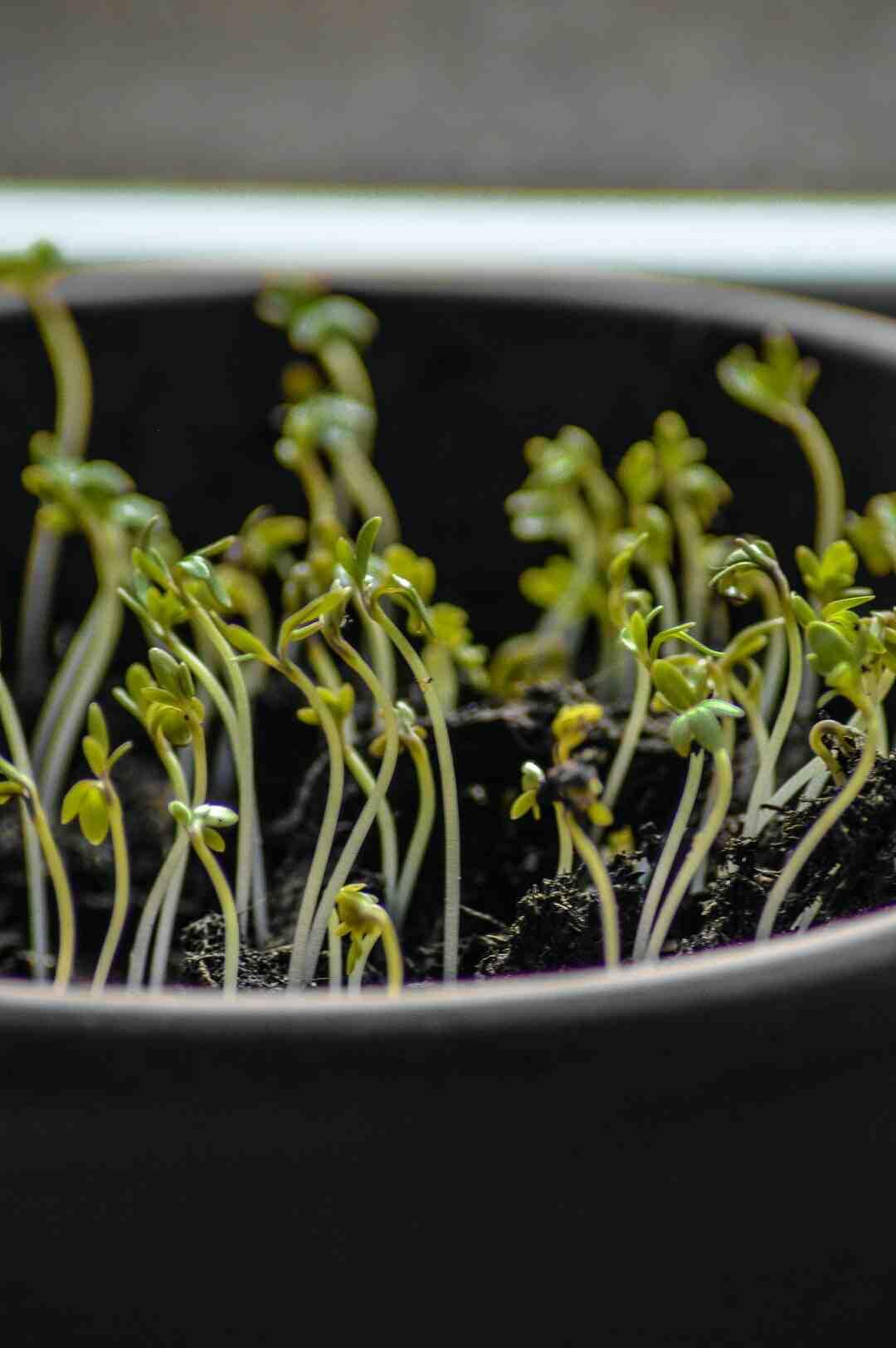 Comment faire germer un haricot rapidement ?