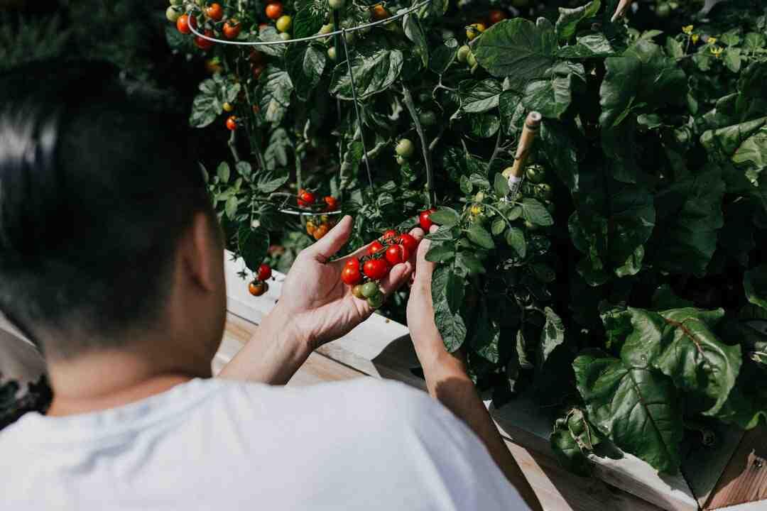 Comment faire pousser des tomates très vite ?