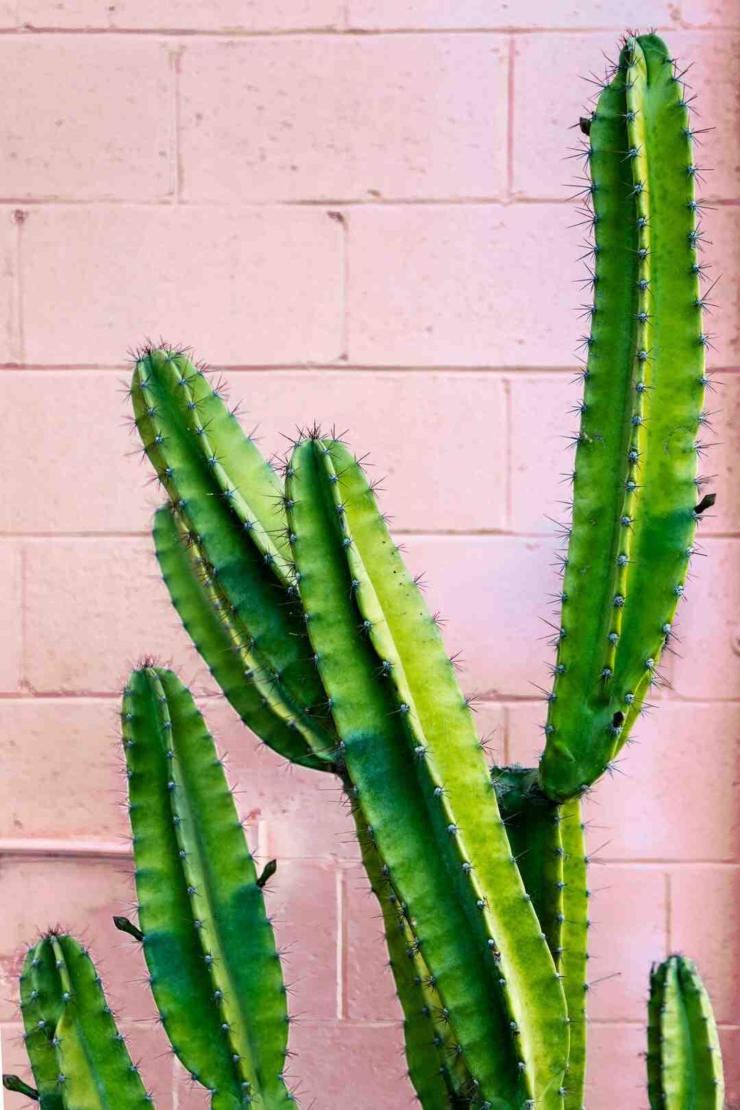 Quel type de terre pour un cactus ?