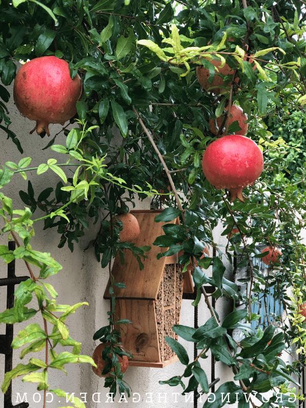 Quelle âge doit avoir un grenadier pour faire des fruits ?