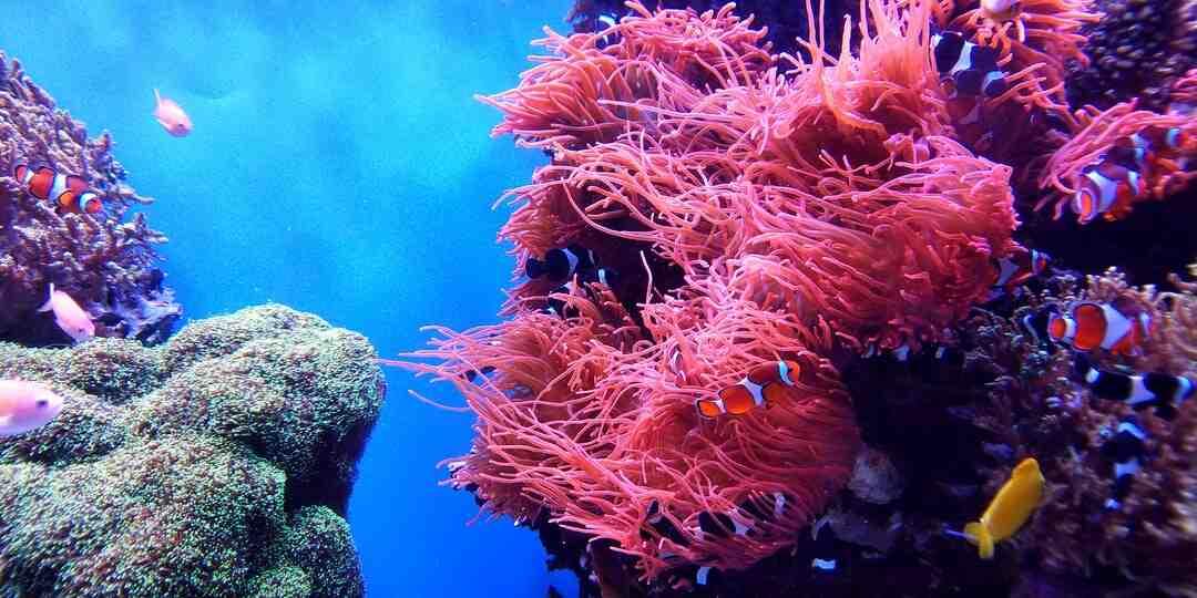 Quelle est la longévité du corail ?