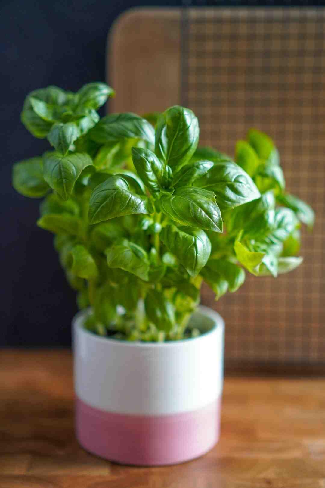 Comment faire pousser du basilic en appartement ?