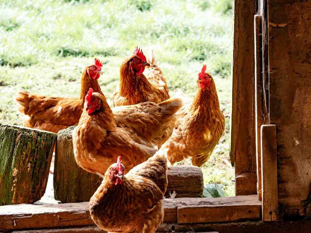 Comment nettoyer un poulet avant cuisson ?