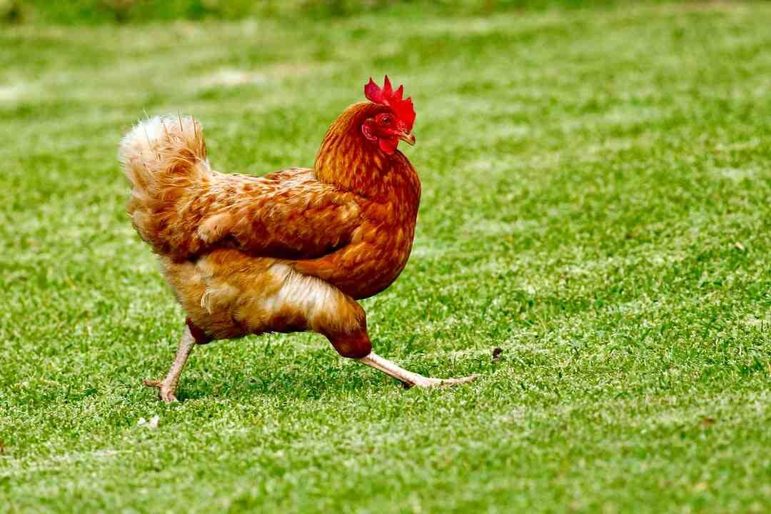 Quel est le rôle du jabot de l'estomac et du gésier chez la poule ?