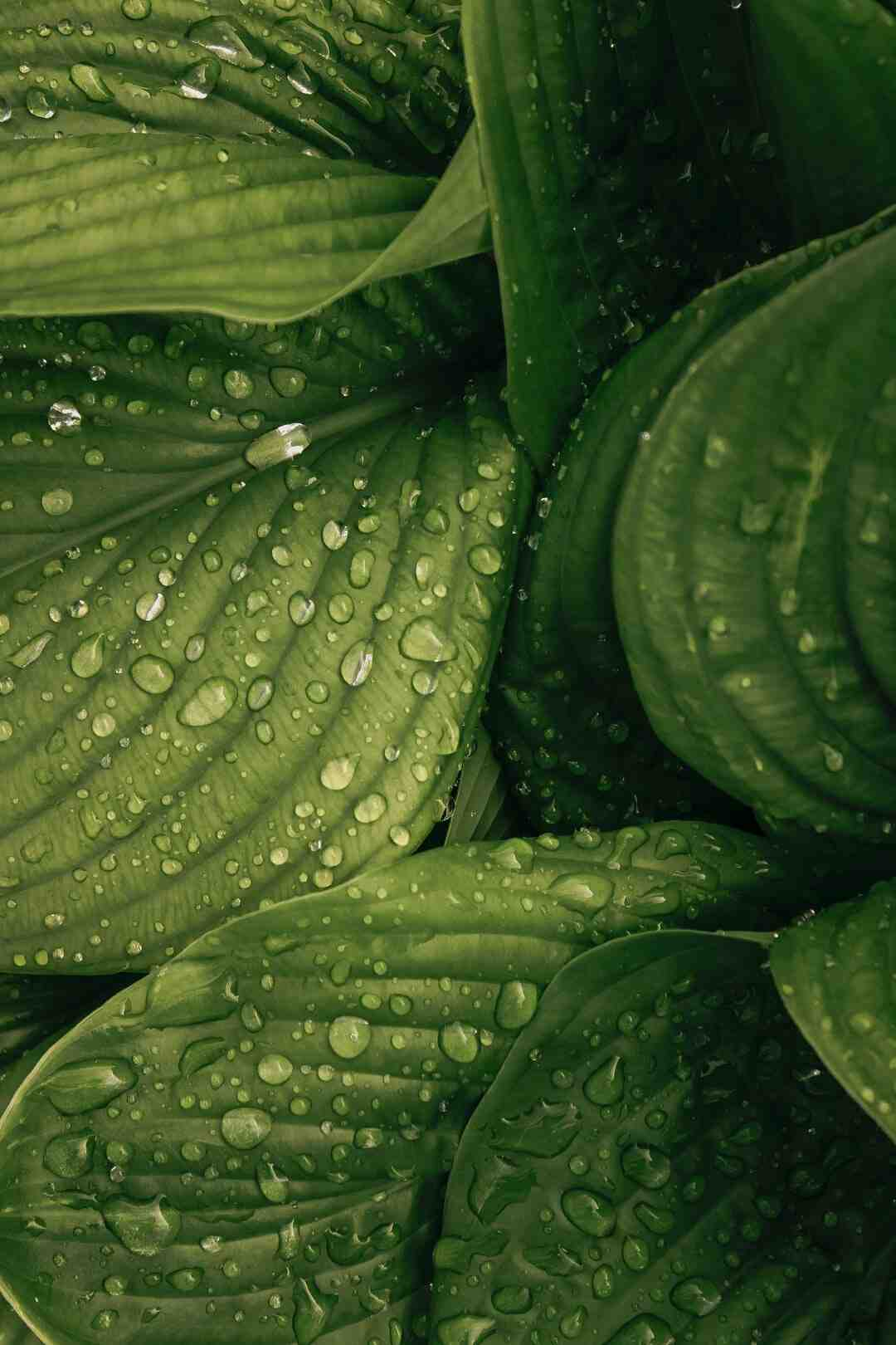 Pourquoi arroser les feuilles des plantes ?