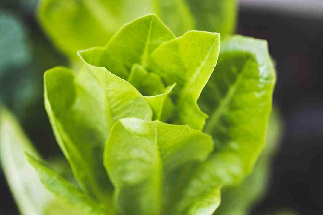 Pourquoi mes salades poussent en hauteur ?